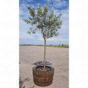 Oliventræ 220 cm høj inkl trætønde