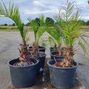 Palmetræ ægte 0,50 meter M1