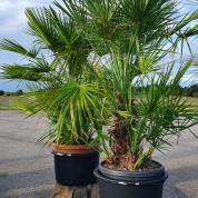 Palmetræ ægte 1,55 meter M4