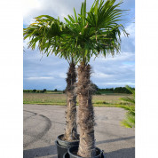 Palmetræ ægte 2,75 meter M5