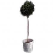 Oliventræ 180 cm
