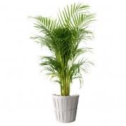 Palme - Areca ægte