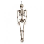 Skelet - 160 cm.