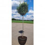 Oliventræ 170 cm høj inkl plast trætønde