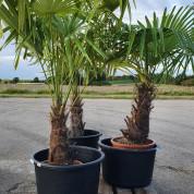 Palmetræ ægte 1,40 meter M2