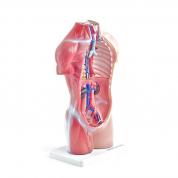 Torso, 18-delt anatomisk model