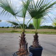 Palmetræ ægte 1,70 meter M3