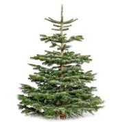 Juletræ - Ædelgran, ægte ca. 300 cm høj